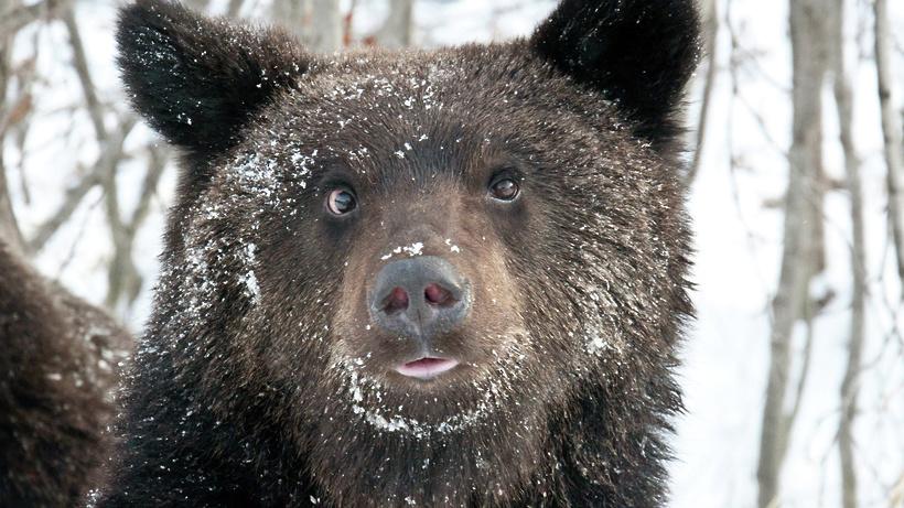 Медведя‑шатуна после поимки в Подмосковье планируют ввести в спячку