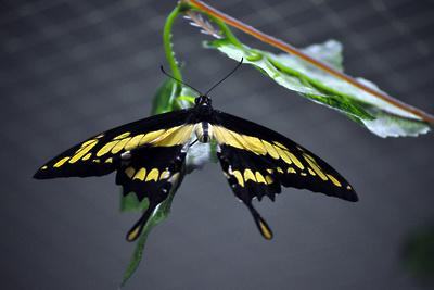 Выставка живых тропических бабочек откроется в Подольске 20 февраля