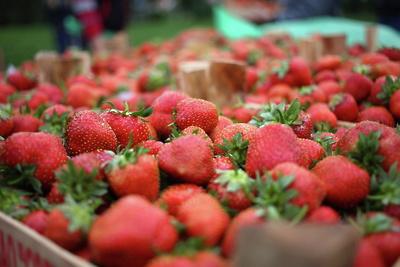Первый урожай клубники начнут собирать в Подмосковье в начале июня