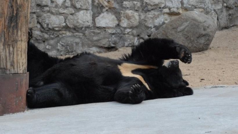 Медведи впали вспячку вМосковском зоопарке