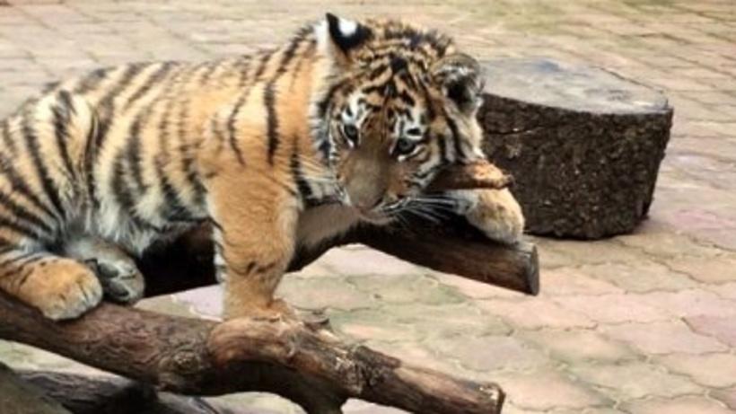 Спасенный вНижневартовске тигр Степан переезжает на отчизну Деда Мороза
