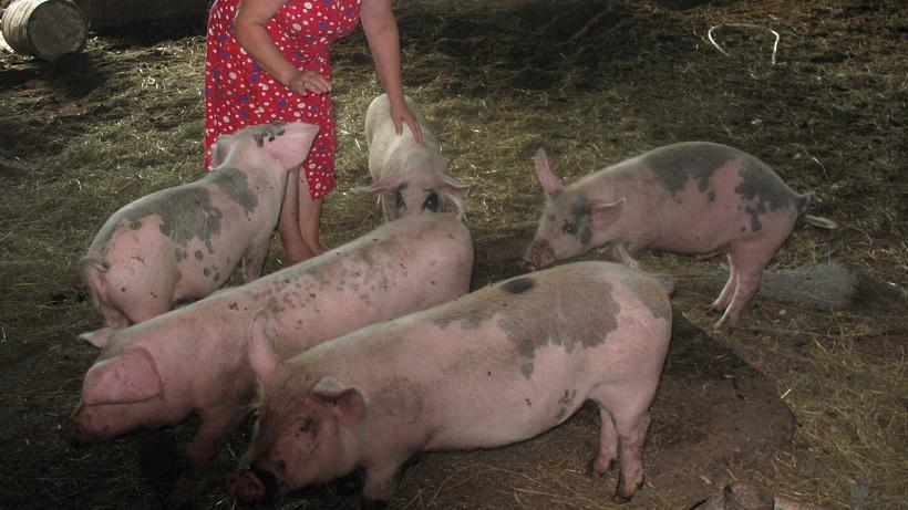 Работа на свиноферму в химках
