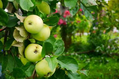 В Ленинском районе 19 августа пройдет фестиваль «Яблочный спас»