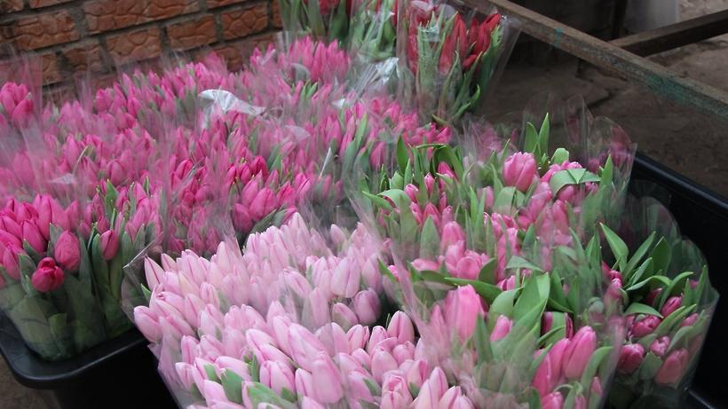Выращивание тюльпанов для продажи 26