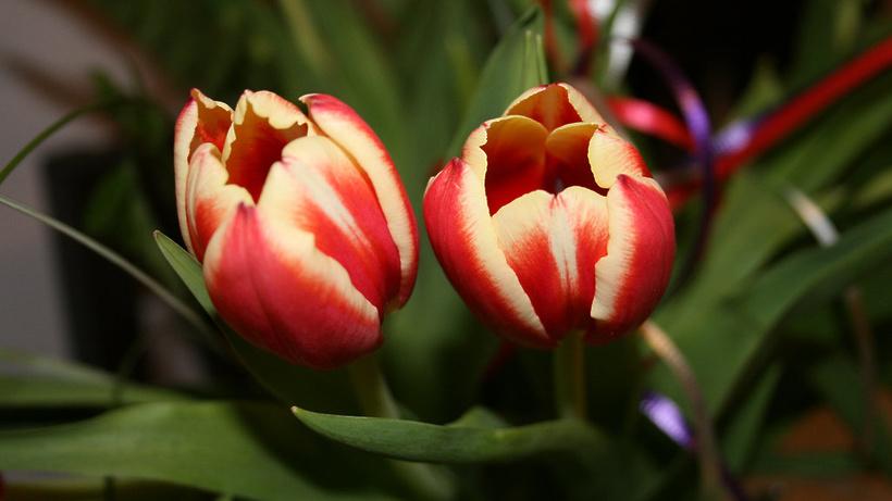 Неменее 2,5 млн. тюльпанов посадят на столичных клумбах