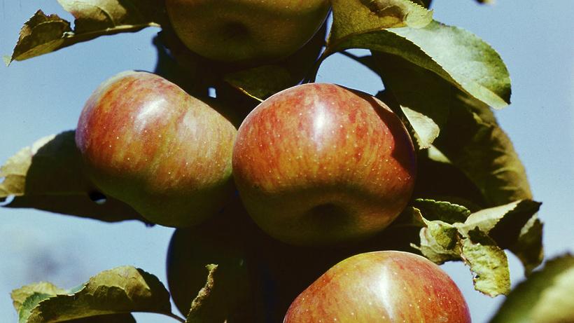 Около 1,5 тыс саженцев редких сортов яблони вырастили в Ивантеевском лесопитомнике