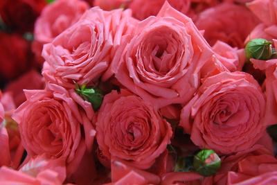 Зараженные розы из Нидерландов обнаружили в Подмосковье