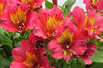 Зараженные цветы альстромерии из Нидерландов обнаружили в Подмосковье