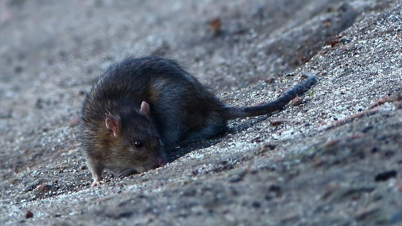 В столицеРФ вмагазине сети «Магнит» крысы гуляют пополкам