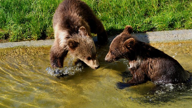 Насевере столицы отыскали 2-х медвежат вошейниках