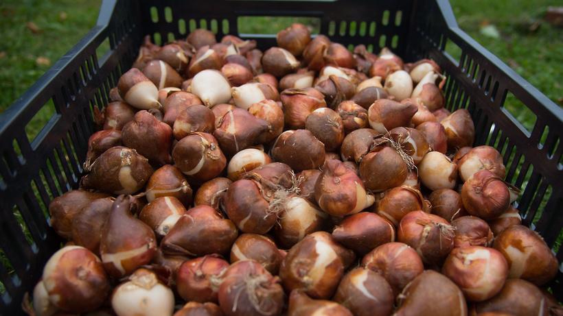 Почти 10 тыс луковичных растений высадили в Балашихе этой осенью