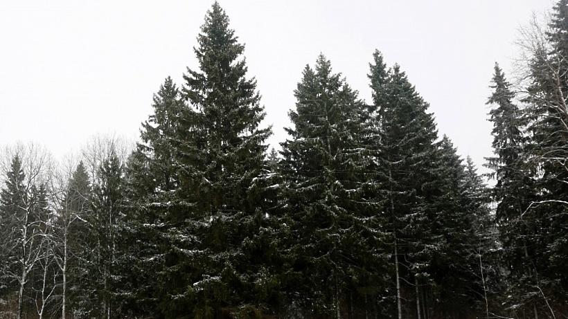 ВПодмосковье выбрана главная новогодняя ель Российской Федерации