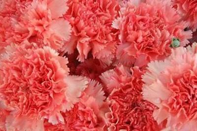 Цветочный трипс обнаружили в срезах цветов гвоздик из Колумбии на складе в Подмосковье