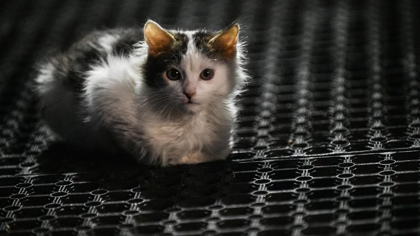 коронавирус у котенка чем лечить