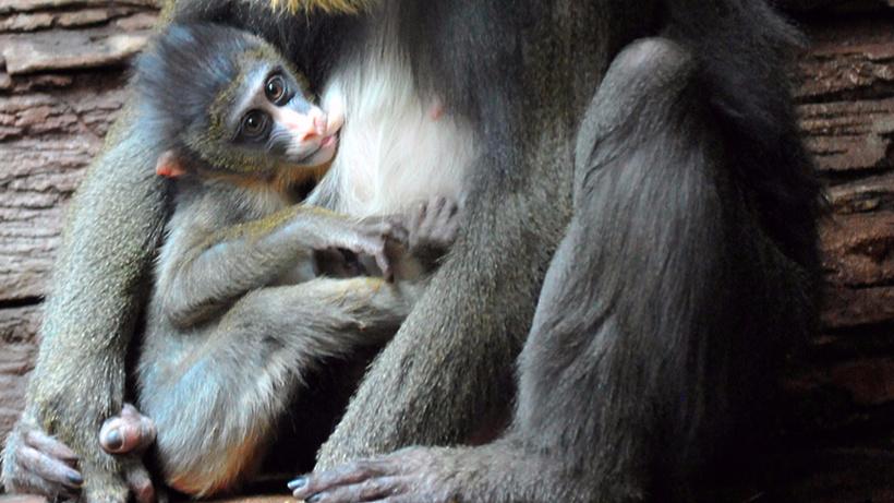 Четвертый детеныш родился усемейства мандрилов встоличном зоопарке