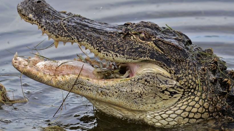 Самого большого крокодила в России поселили на ферме в Коломне