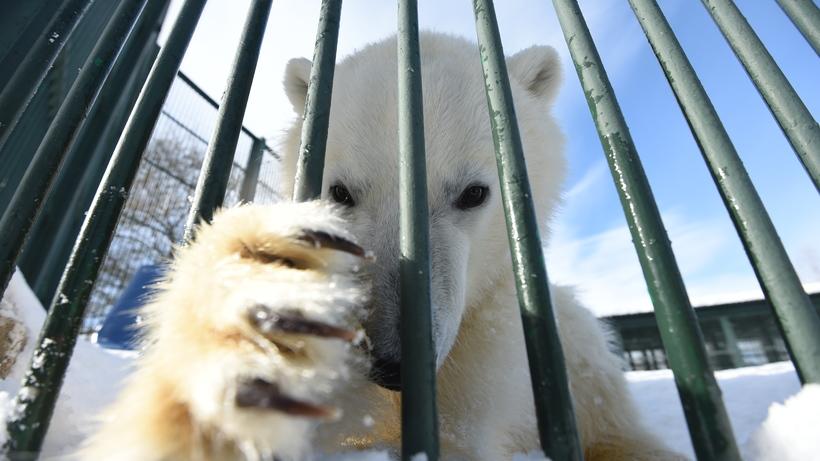Московский зоопарк готов принять нареабилитацию белого медвежонка изЯкутии