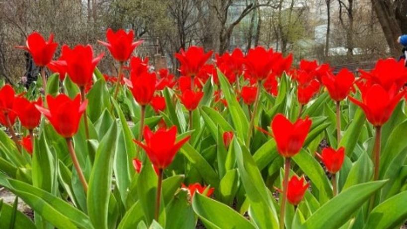 А в парках городских тюльпаны расцвели скачать