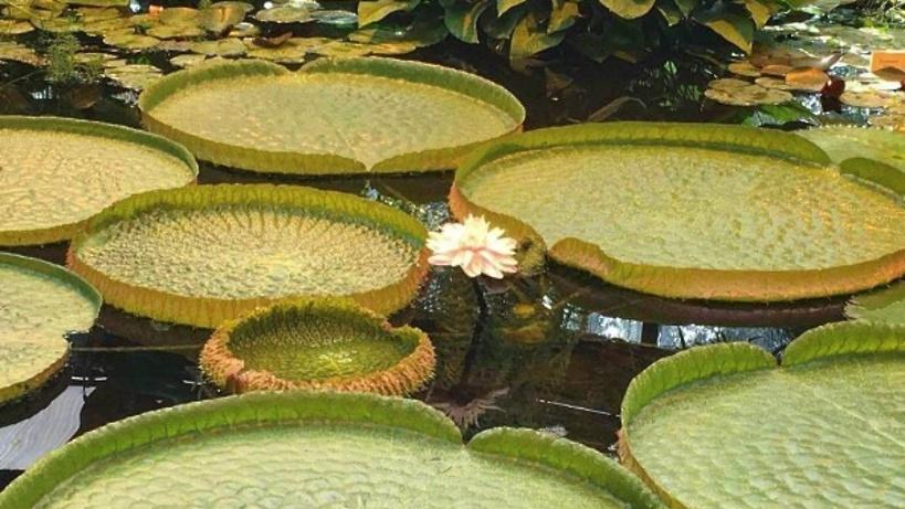 Третий цветок большой кувшинки виктории амазонской распустится в«Аптекарском огороде» 9июня