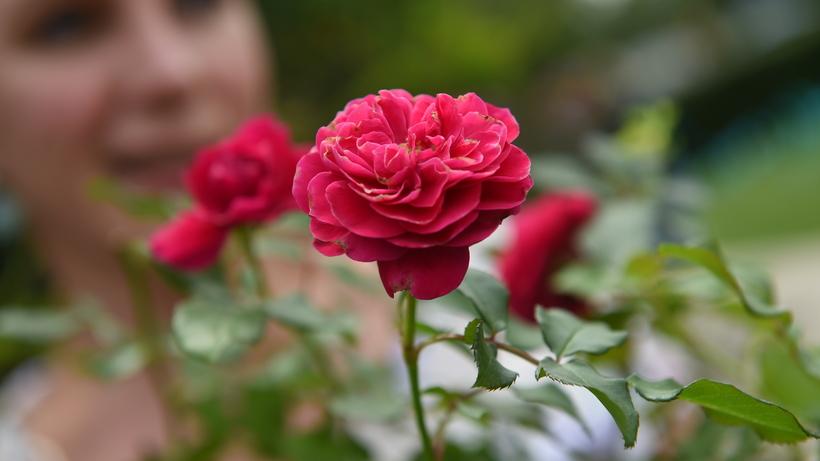 Новый сорт розы «Москва» украсит природные территории столицы