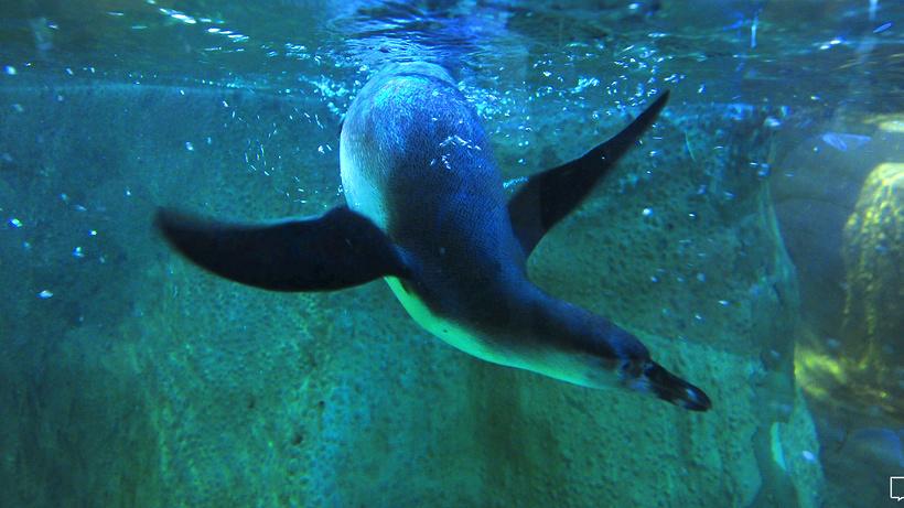 ВМосковском зоопарке появились папуанские пингвины