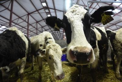 Процесс выдачи субсидий в молочной сфере ускорился в Подмосковье почти в 4 раза