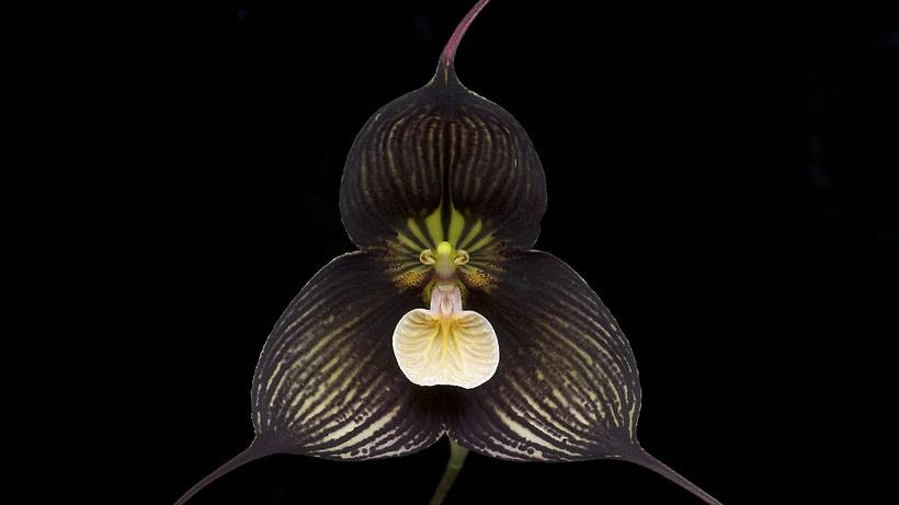 Особая  орхидея-вампир расцвела встоличном Ботаническом саду