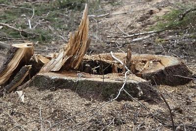 Вырубка леса около деревни Лаговское Подольска является законной