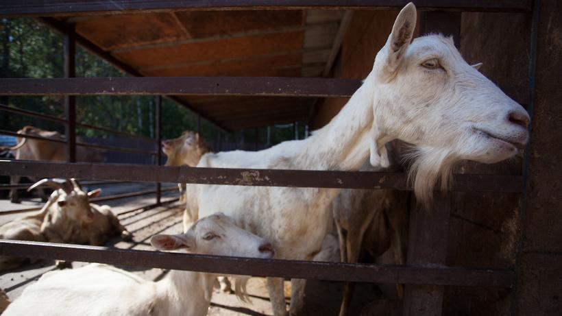 Пять участков предоставили для разведения коз и переработки молока в Коломенском округе