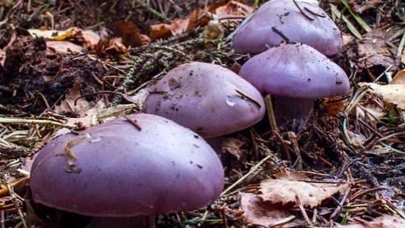 поздние грибы подмосковья