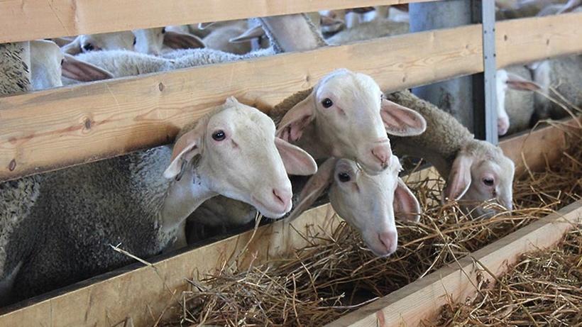 Около 30 овец содержится в фермерском хозяйстве Мытищ