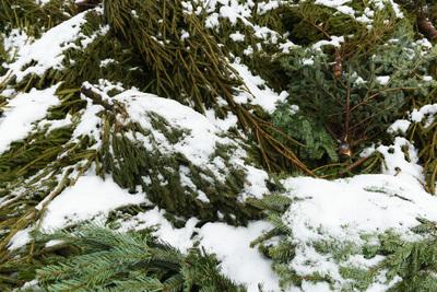Жители Подмосковья сдали на переработку более 3 тыс новогодних елок за неделю