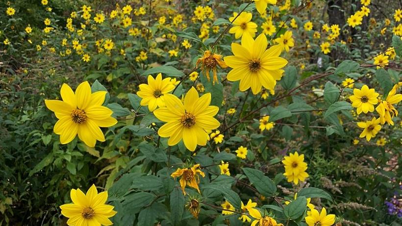 Рододендрон и топинамбур расцвели в «Аптекарском огороде» из‑за аномального тепла