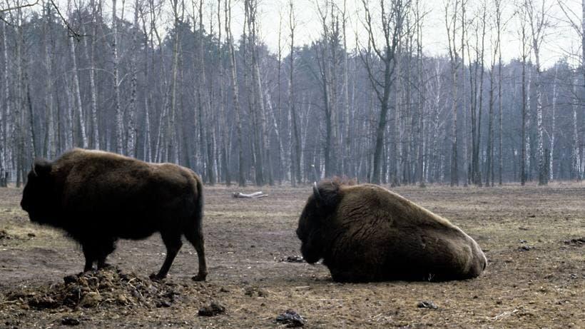 Шестерых зубров из Приокско‑Террасного заповедника перевезли в Калужскую область